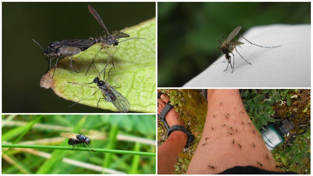 Mouches noires et moustiques