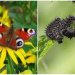 Oeil de paon papillon et sa chenille