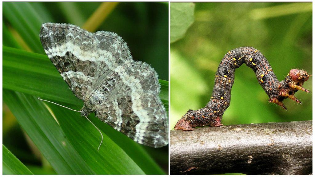 Chenille de papillon papillon