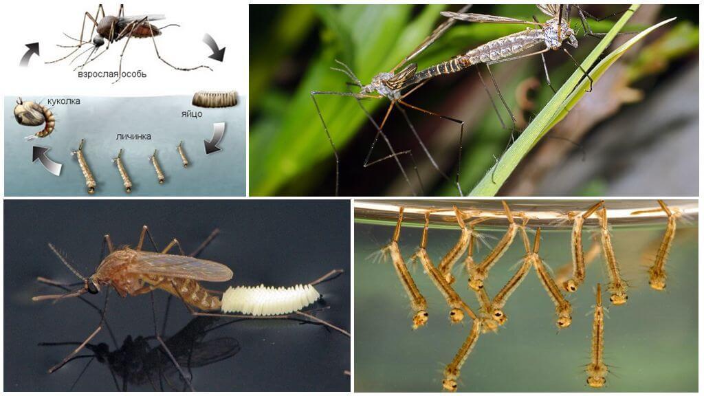 Reproduction du moustique