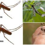 Moustiques femelles et mâles