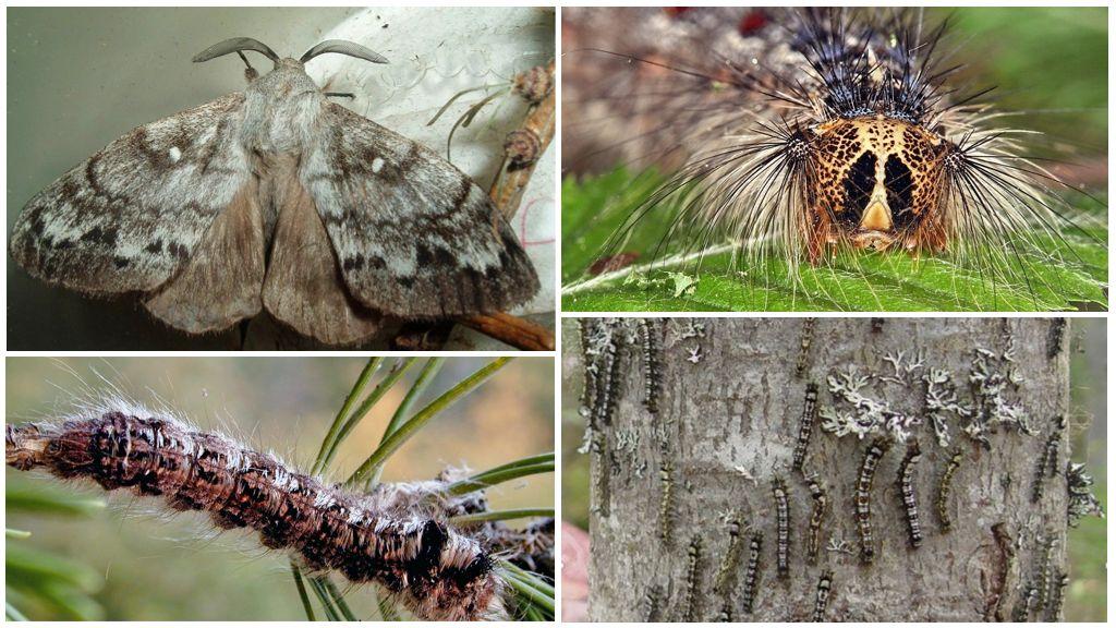 Chenille et papillon du ver à soie sibérien