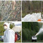 Lutte contre le ver à soie de Sibérie
