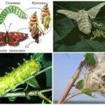 Cycle de vie des papillons