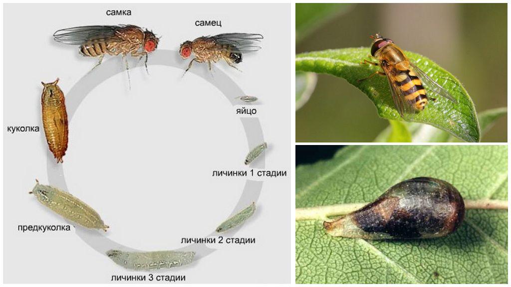 Le cycle de vie de mouche-sirfidy