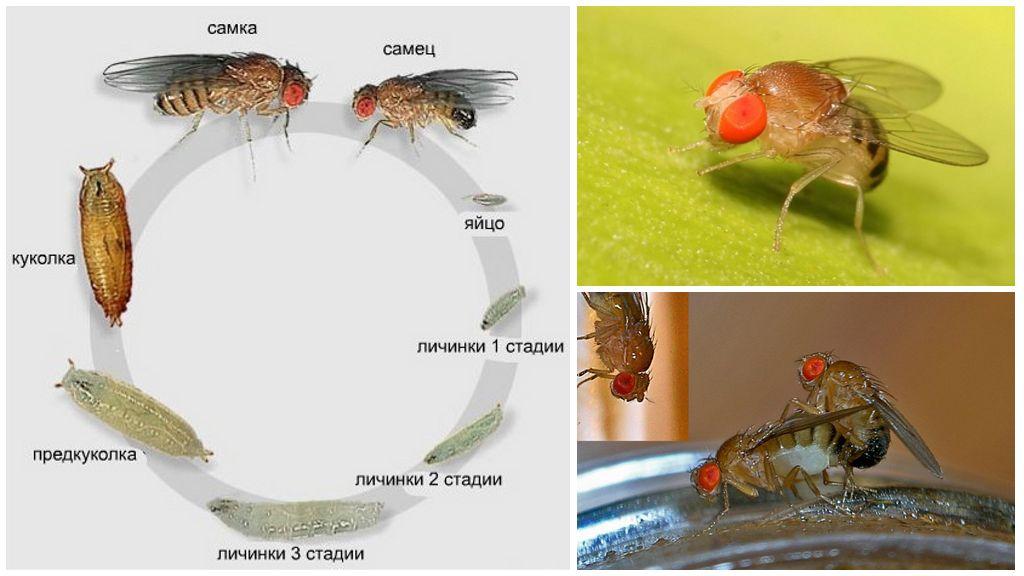 Cycle de vie des mouches