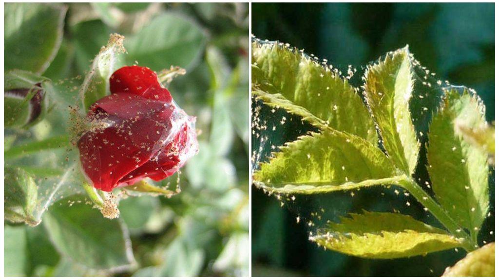 Plantes Spiderweed