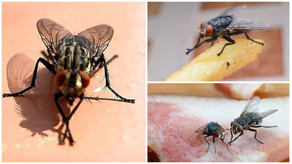 Les mouches se frottent les pattes