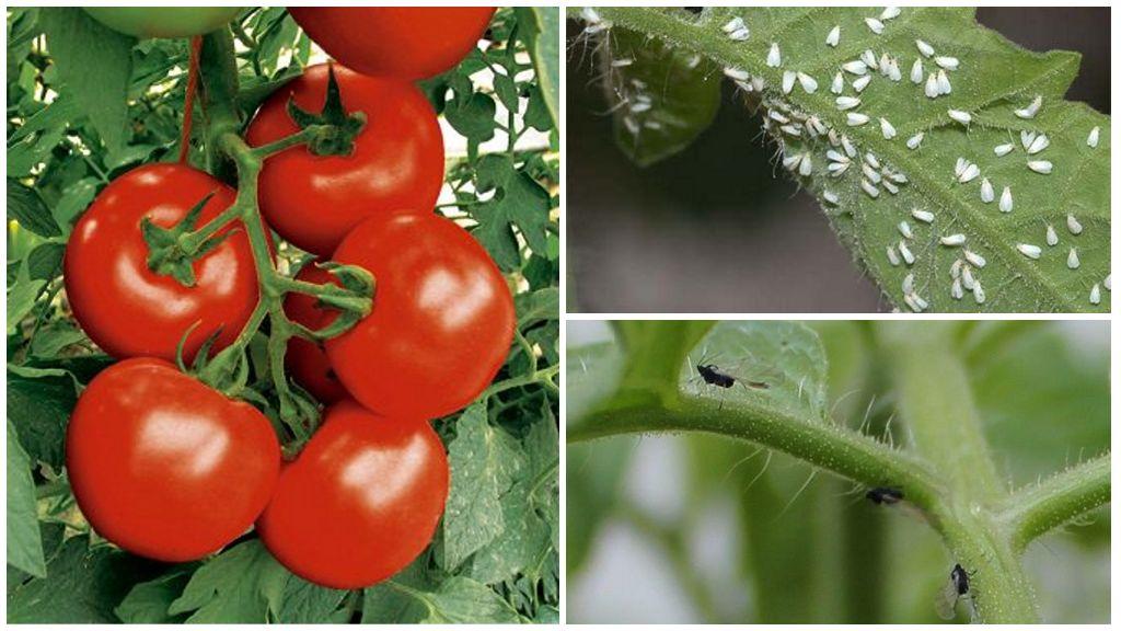Mouches blanches ou noires sur les tomates