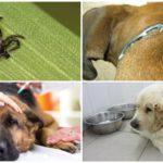 Piroplasmose chez le chien