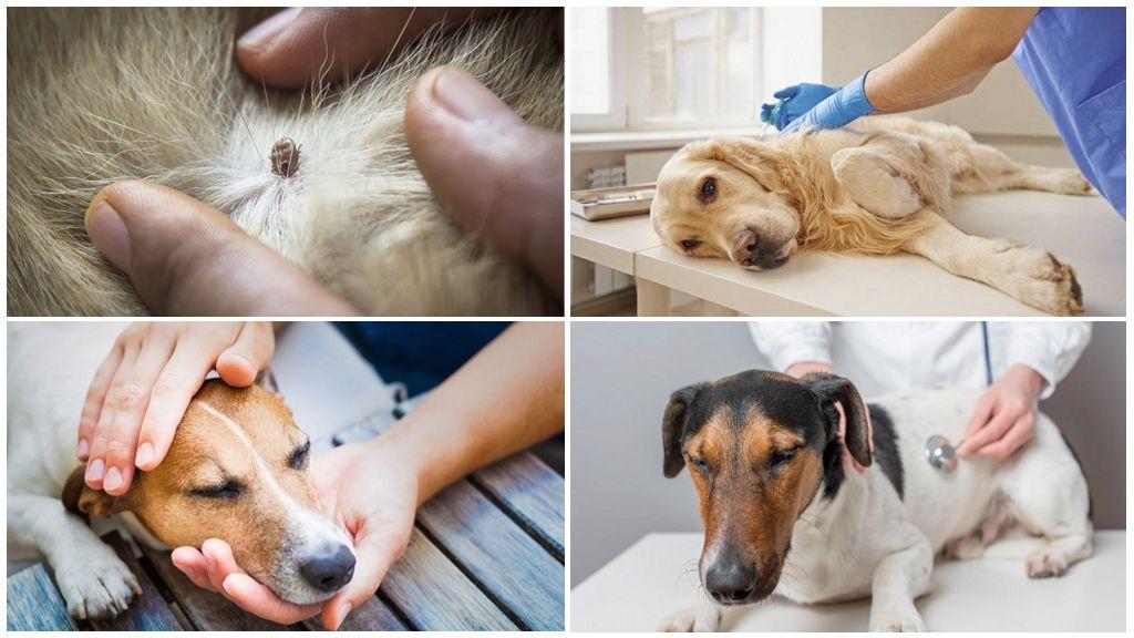 Traitement des chiens contre la piroplasmose