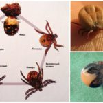Développement du cycle et reproduction de la tique