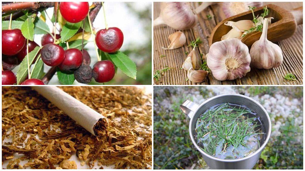 Méthodes populaires de traitement avec mouche des cerises