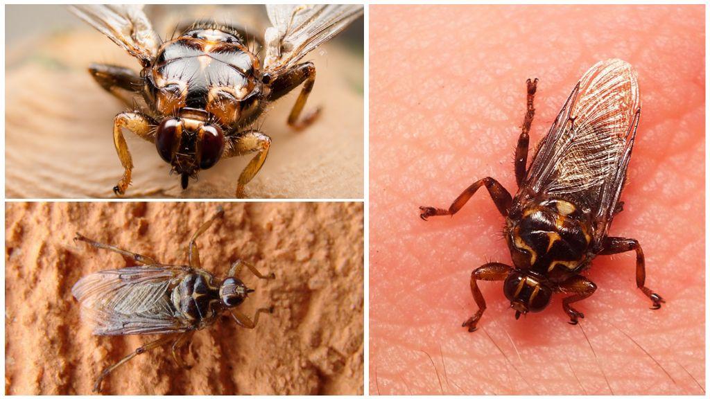 Fly Hippobosca equina ou sangsue de cheval