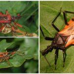 Bug prédateur