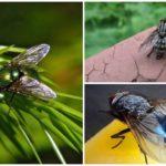 Nécrophages des mouches