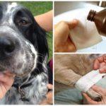Traitement de morsure de guêpe pour chien
