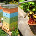 Guêpes dans un rucher