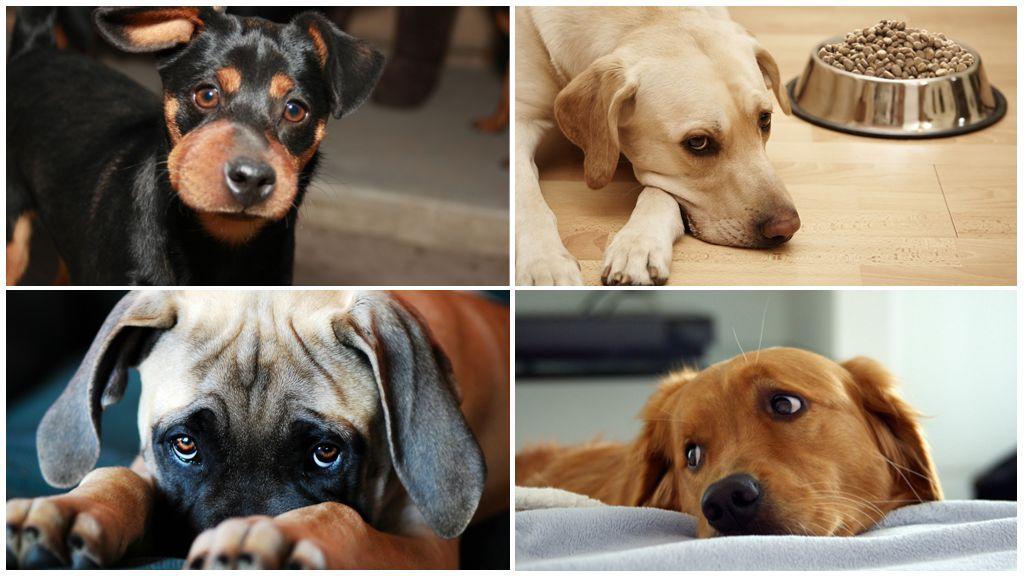 Les effets d'une piqûre de guêpe sur un chien