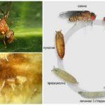 Le cycle de développement d'une mouche du melon