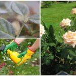 Combattre le tétranyque sur une rose