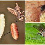 Œufs et larves de mouches