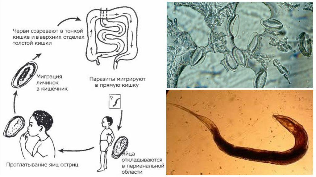 Le cycle de développement du parasite