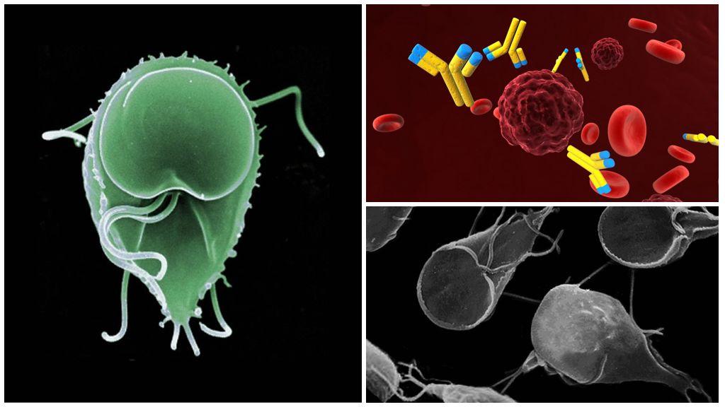 Anticorps contre Giardia