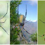 Araignées grand arbre orb-web