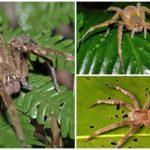 Araignée errante brésilienne