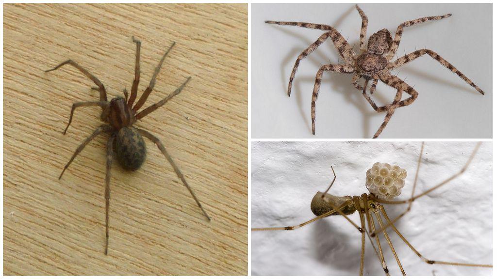 Araignée domestique (Tegenaria domestica)