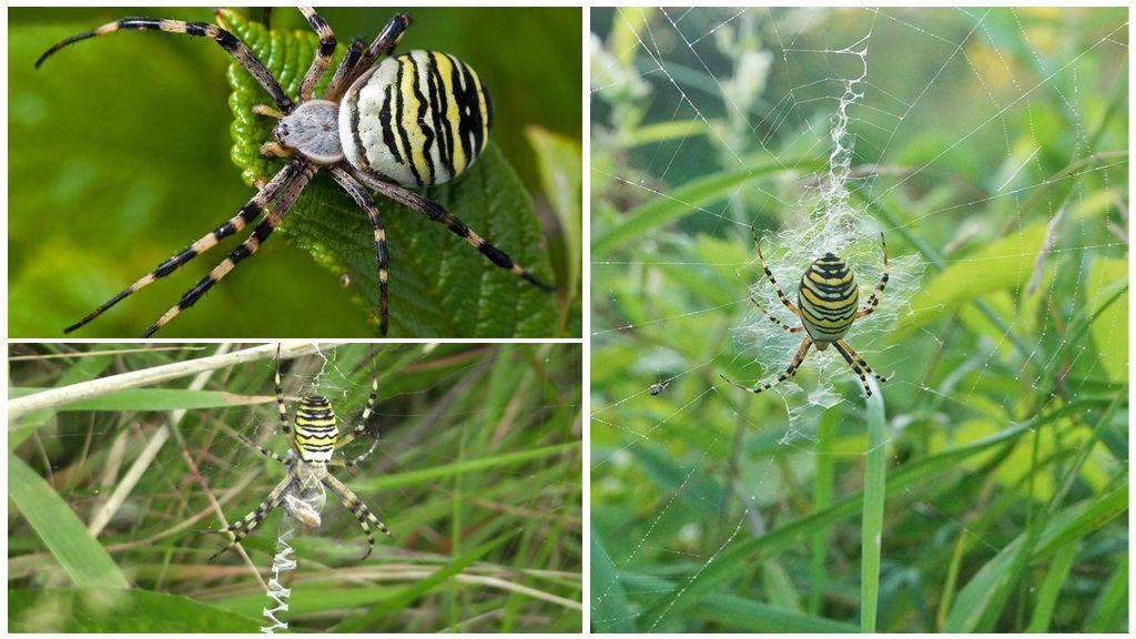 Guêpe araignée ou Argiope Brunnich