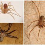 Araignée ermite brune