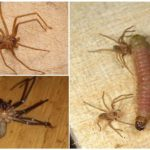 Ermite Araignée