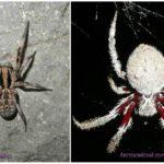 Araignées australie