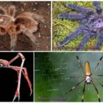 Les plus grandes araignées du monde