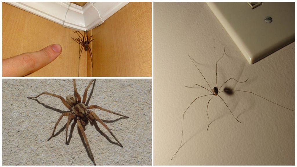 Araignées dans la maison