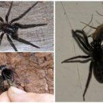 Entonnoir araignée