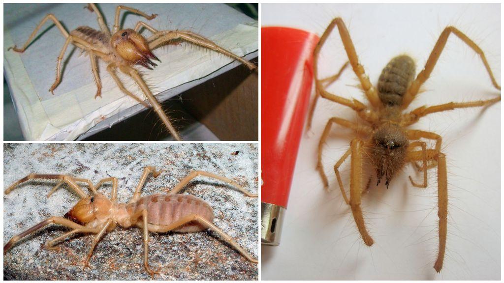 Araignée de chameau (Solpuga, araignée Phalanx)