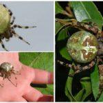 Types d'araignées krestovikov