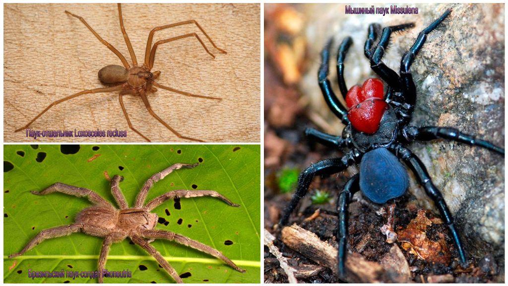 Araignées toxiques